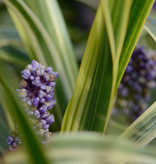 Leliegras  Liriope muscari 'Gold Banded' (Leliegras)