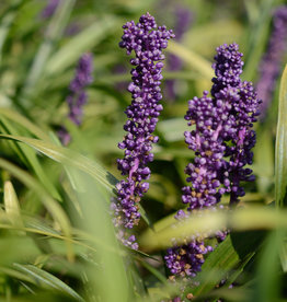Leliegras  Liriope muscari 'Royal Purple'