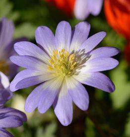 Anemoon (oosterse)  Anemone blanda 'Blue Splendour'
