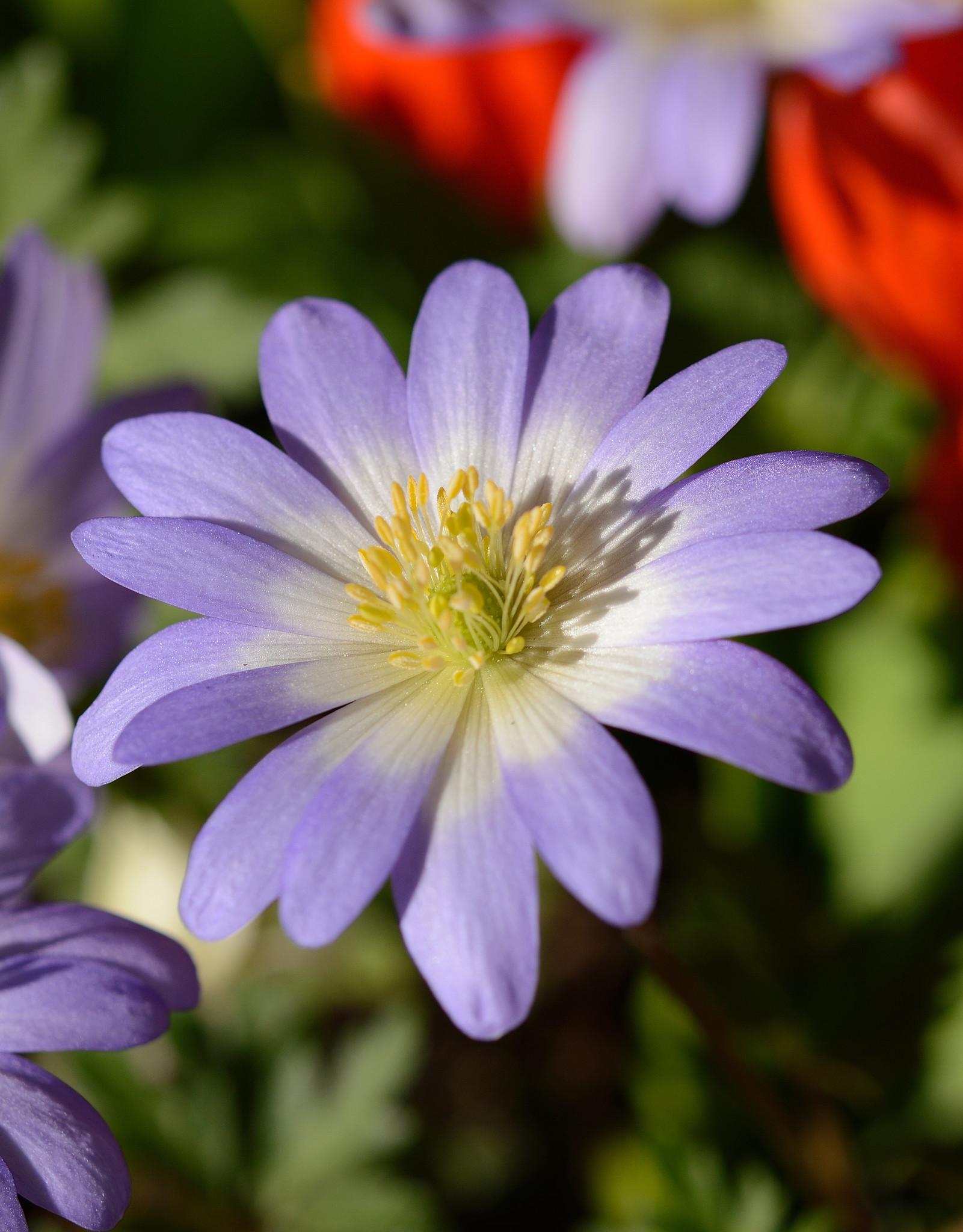 Anemoon (oosterse)  Anemone blanda 'Blue Splendour' (Oosterse anemoon)