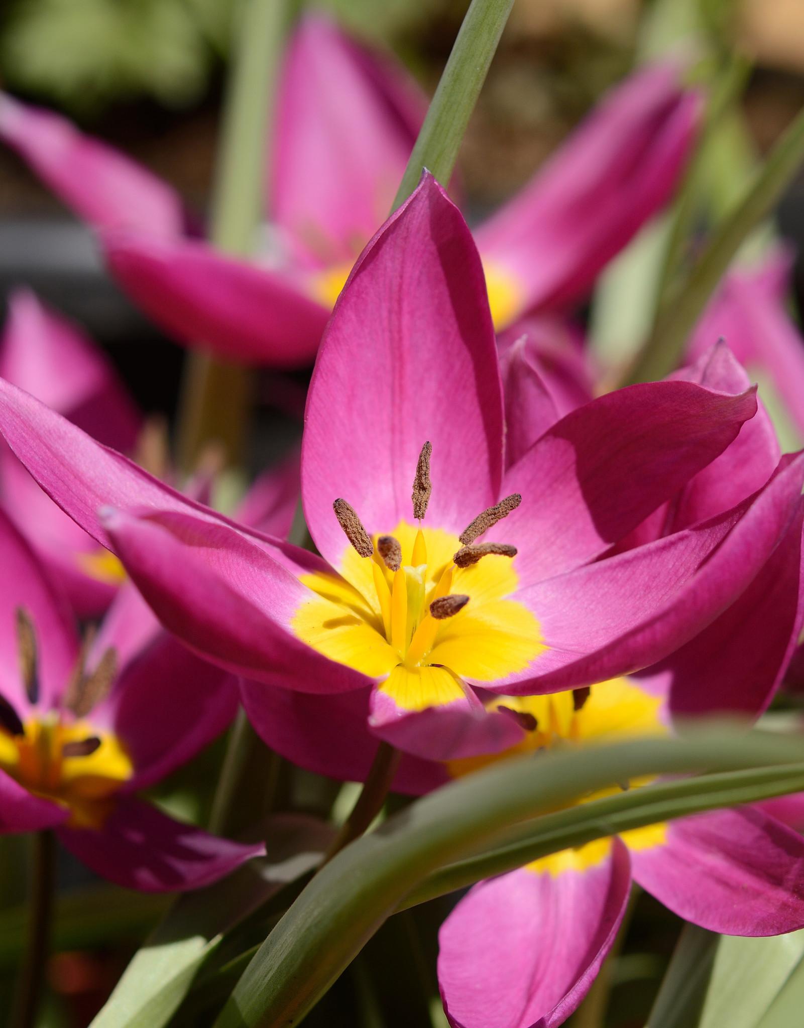 Tulp  Tulipa humilis 'Eastern Star' (Tulp)