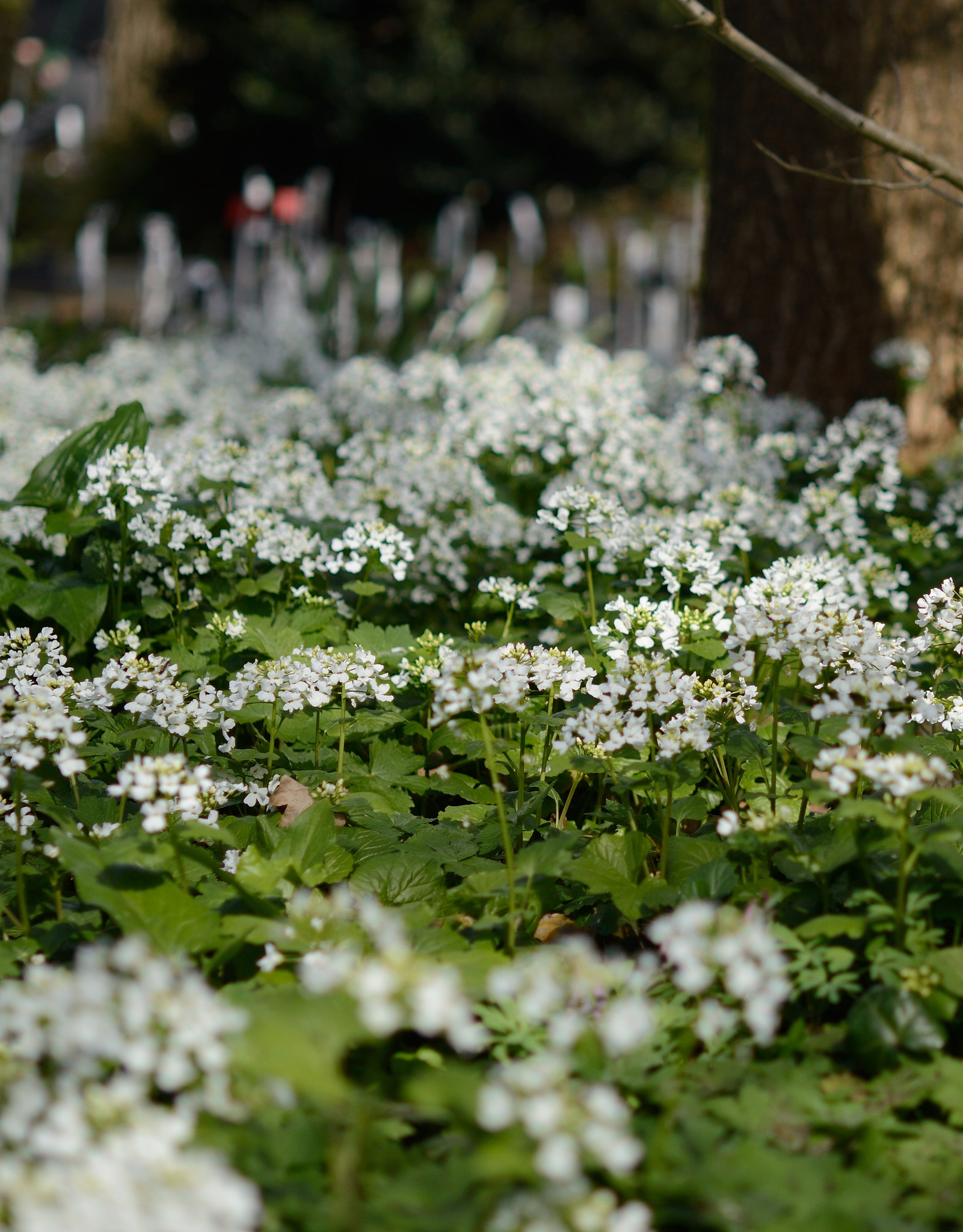 Look (kaukasisch)  Pachyphragma macrophyllum (Kaukasische look)