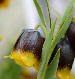 Kievitsbloem Fritillaria michailovskyi