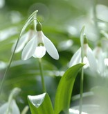 Sneeuwklokje Galanthus woronowii (Glanzend sneeuwklokje) - Stinzenplant