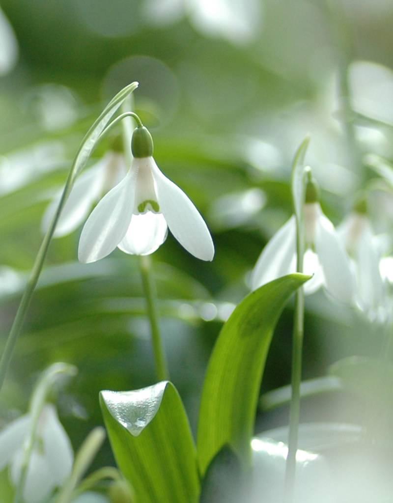 Sneeuwklokje Galanthus woronowii (Glanzend sneeuwklokje) kleine bolmaat - Stinzenplant