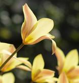 Tulp  Tulipa clusiana 'Sheila' (Tulp)