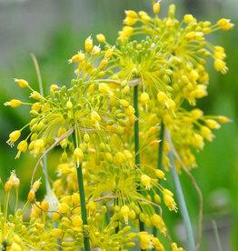 Look  Allium flavum