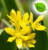 Look  Allium moly, BIO (Goudlook)