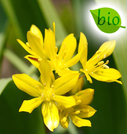 Look  Allium moly, BIO