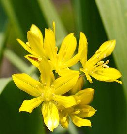 Look  Allium moly