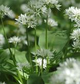 Look (daslook)  Allium ursinum (Daslook) - Stinzenplant