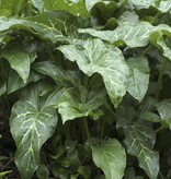 Aronskelk  Arum italicum (Italiaanse aronskelk) - Stinzenplant