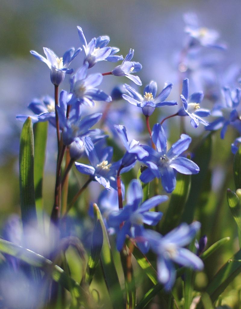 Sneeuwroem  Chionodoxa sardensis (Sneeuwroem) - Stinzenplant - 200 stuks voor 8m2