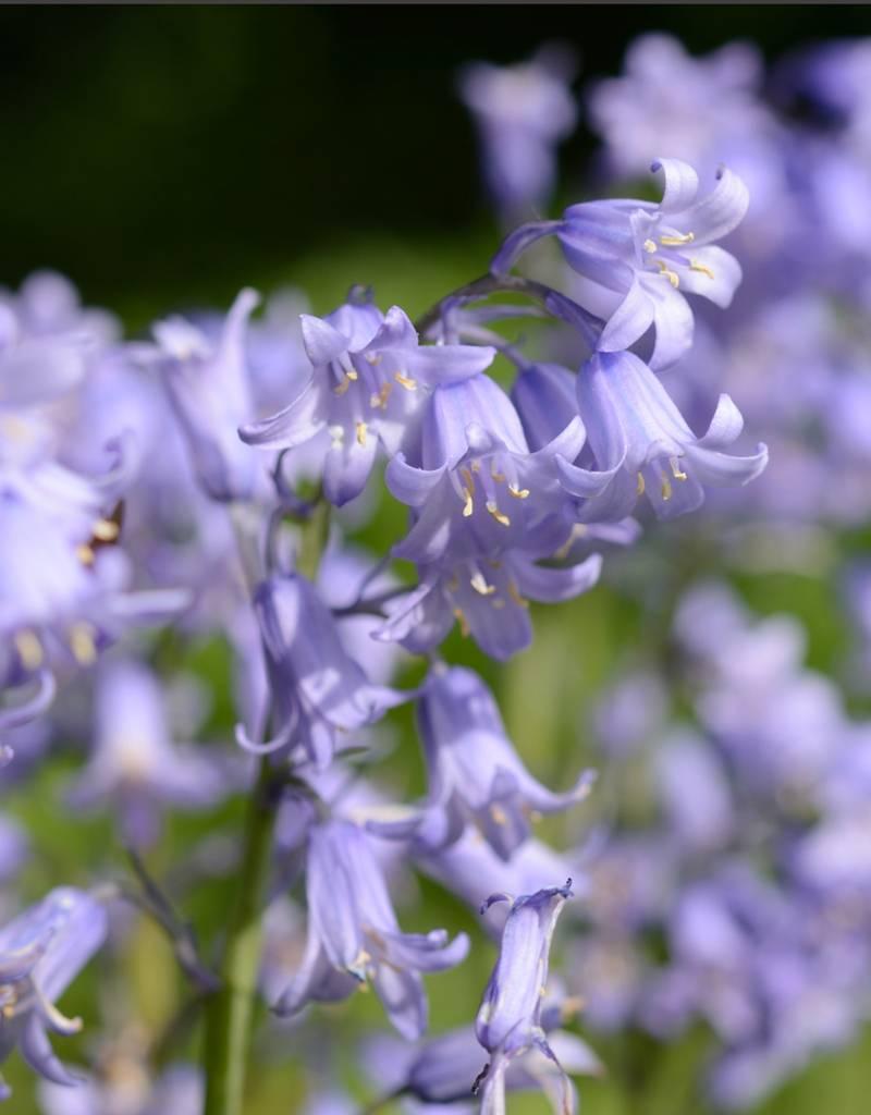 Hyacint (spaanse) Hyacinthoides hispanica blauw (Spaanse hyacint) - Stinzenplant