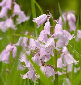 Hyacint (bos/wilde) Hyacinthoides non-scripta Roze
