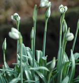 Sneeuwklokje (cultivar)  Galanthus plicatus 'Jaquenetta' (Sneeuwklokje)