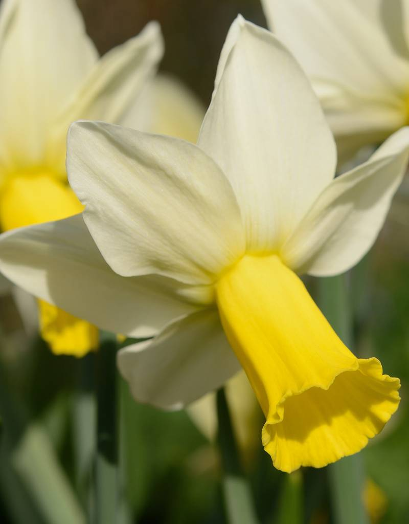 Narcis  Narcissus 'Trena'