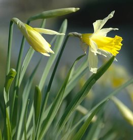 Narcis (wilde) Narcissus pseudonarcissus lobularis