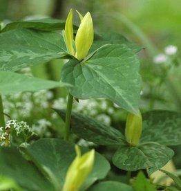 Boslelie Trillium luteum