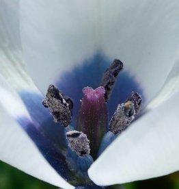 Tulp  Tulipa humilis var. pulchella 'Albocaerulea'