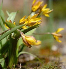 Tulp  Tulipa neustruevae