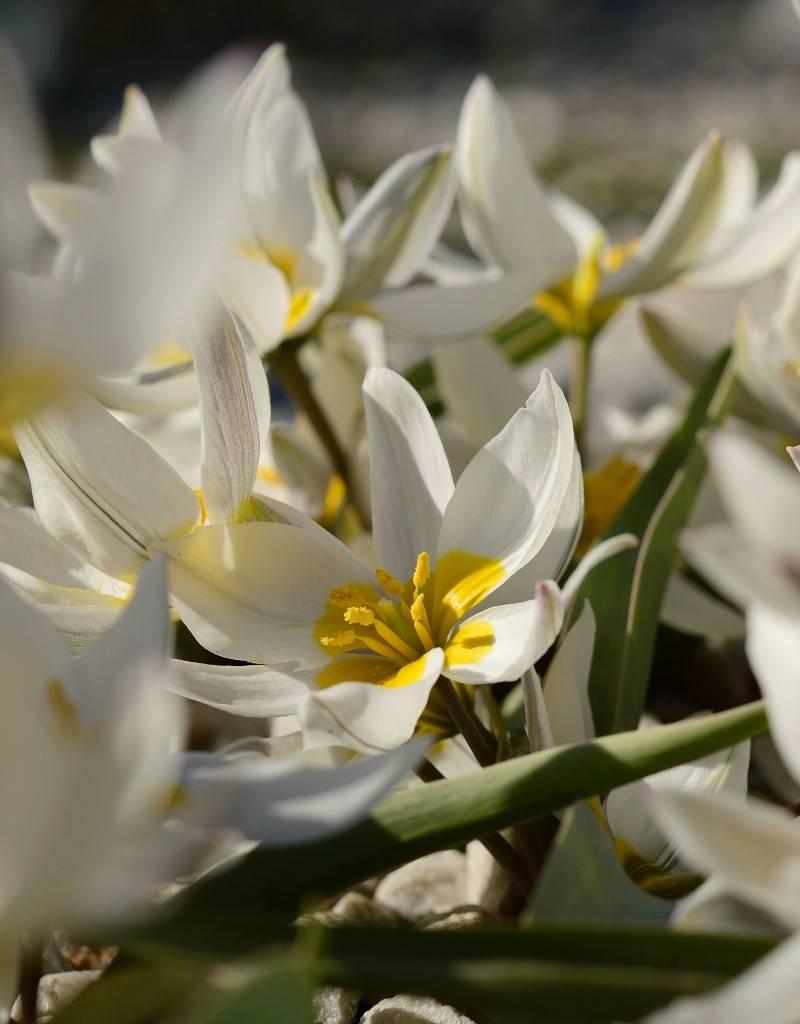 Tulp Tulipa polychroma