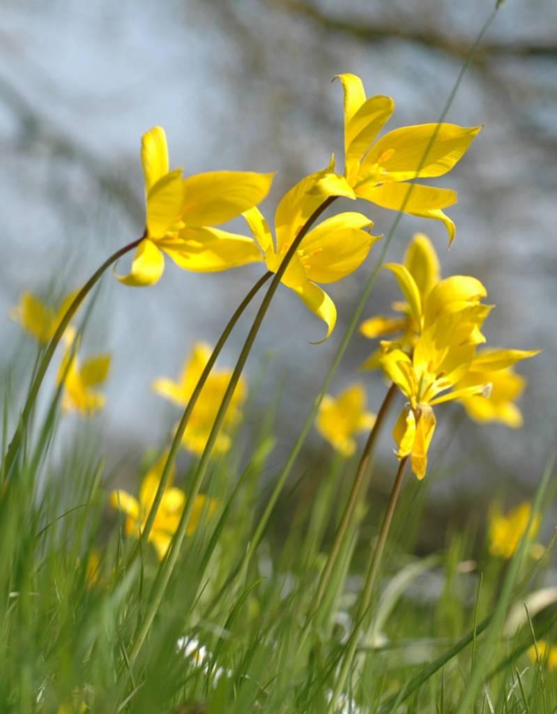 Tulp (bos)  Tulipa sylvestris (Bostulp) - Stinzenplant