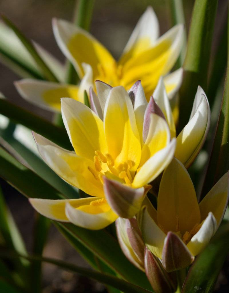 Tulp Tulipa tarda