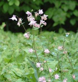 Akelei Aquilegia vulgaris (zaad)