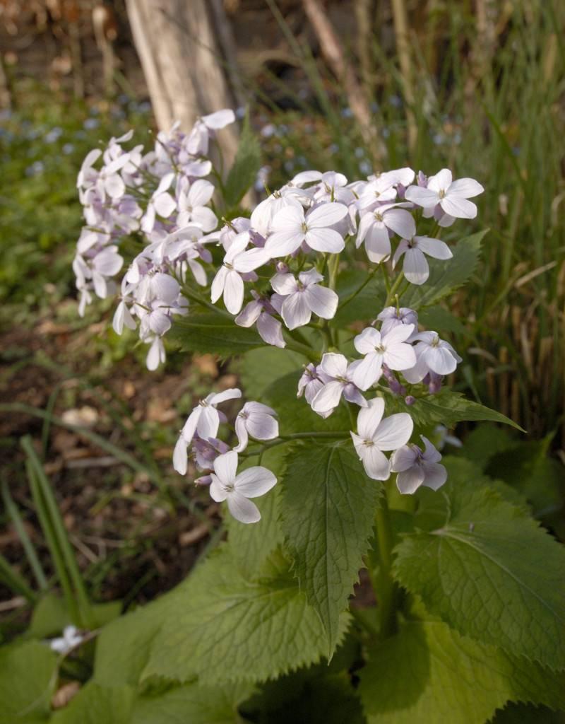 Judaspenning  Lunaria redivia (zaad) (Vaste Judaspenning)