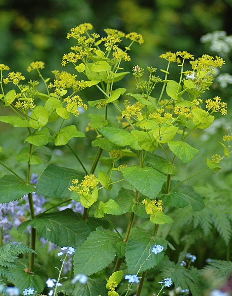 Doorwaskervel  Smyrnium perfoliatum (zaad) (Doorwaskervel)