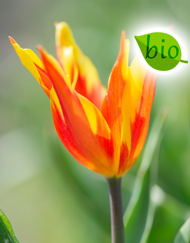 Tulp  Tulipa 'Fire Wings', BIO
