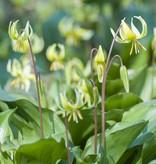 Hondstand  Erythronium 'Pagoda' (Gele Hondstand) - Stinzenplant