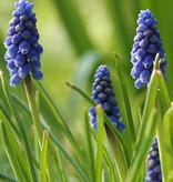 Blauwe druifjes  Muscari botryoides 'Superstar' (Blauwe druifjes) - Stinzenplant