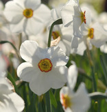 Narcis (dichters)  Narcissus 'Actaea'