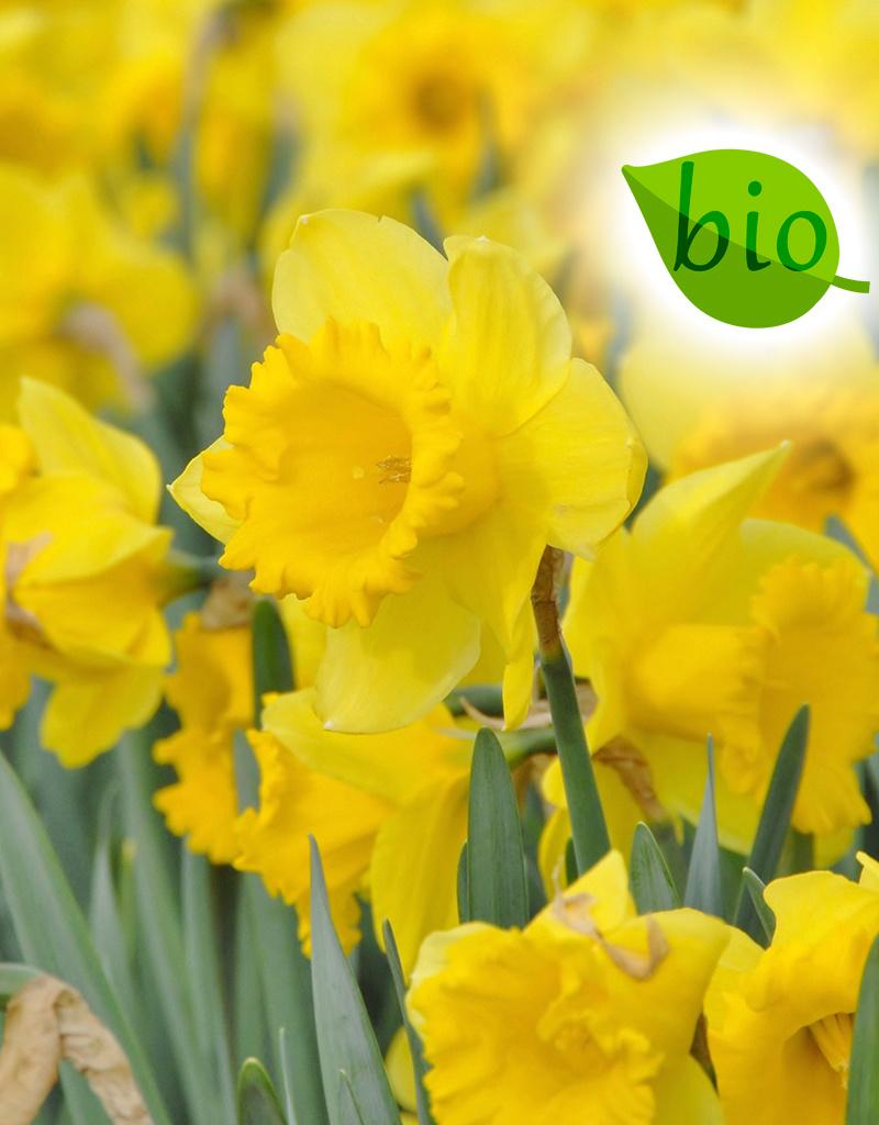 Narcis  Narcissus 'Dutch Master', BIO