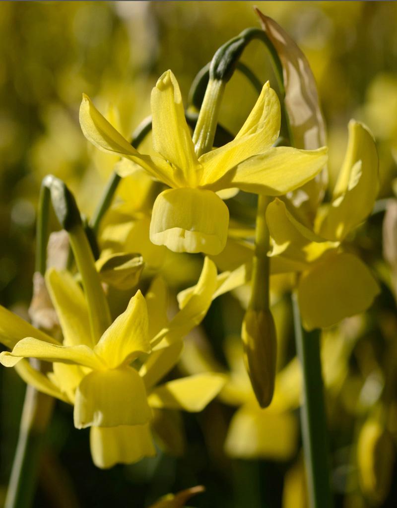 Narcis  Narcissus 'Hawera'