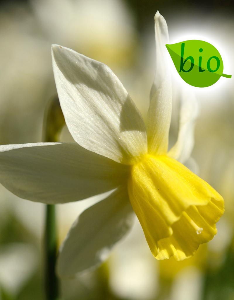 Narcis  Narcissus 'Sailboat', BIO
