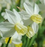 Narcis  Narcissus 'Sailboat', BIO - AANBIEDING
