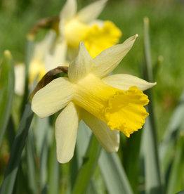 Narcis  Narcissus 'Topolino'
