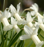 Narcis  Narcissus 'Tracey'