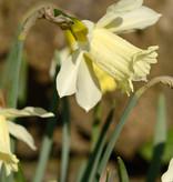 Narcis  Narcissus 'W.P. Milner'