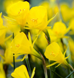 Narcis (hoepelrok)  Narcissus bulbocodium 'Golden Bells'