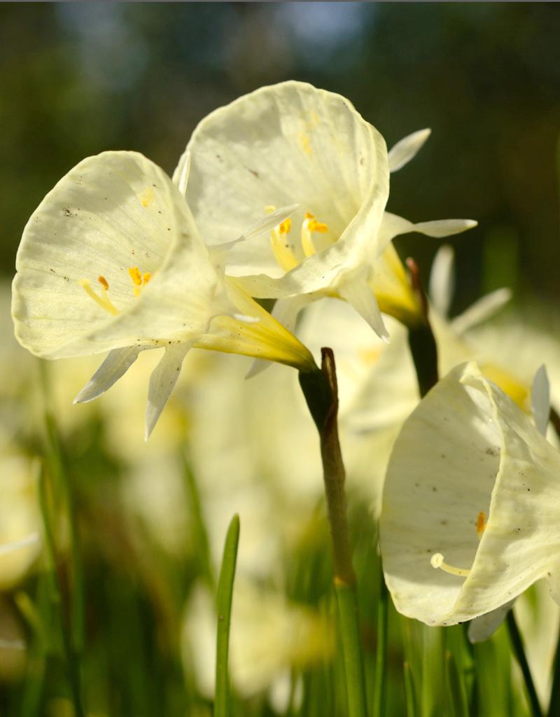 Narcis (hoepelrok)  Narcissus bulbocodium 'Spoirot' (Hoepelroknarcis)