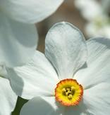 Narcis (dichters)  Narcissus poeticus var. recurvus, BIO (Dichtersnarcis) - Stinzenplant