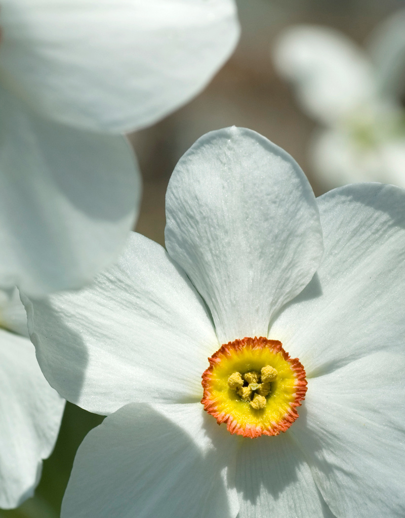 Narcis (dichters)  Narcissus poeticus var. Recurvus (Dichtersnarcis) - Stinzenplant