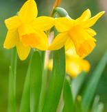 Narcis  Narcissus 'Tête-à-Tête', BIO