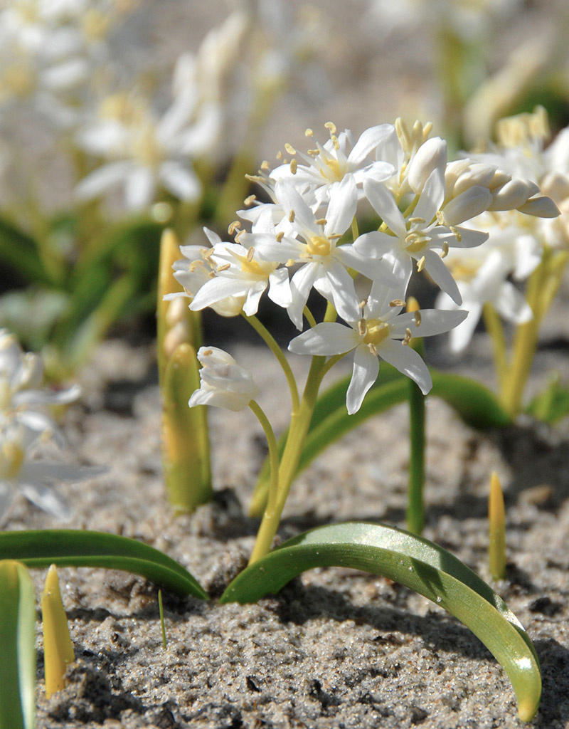 Sterhyacint (vroege)  Scilla bifolia 'Alba' (Witte Vroege sterhyacint) - Stinzenplant
