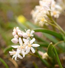Sterhyacint (vroege)  Scilla bifolia 'Rosea'