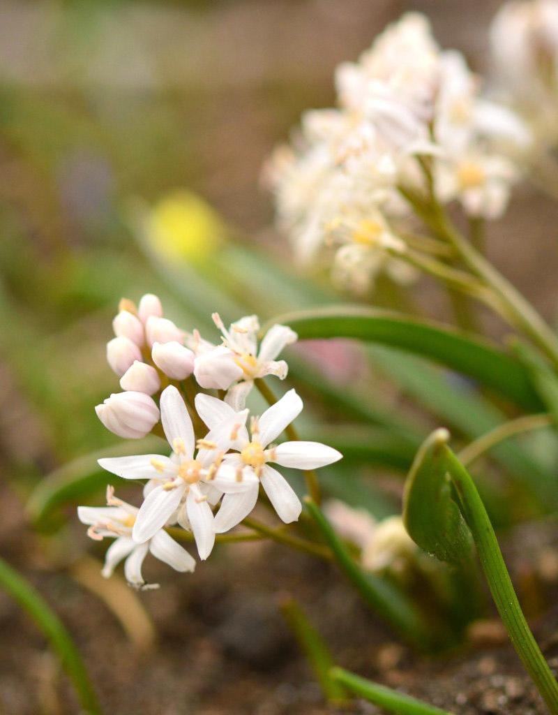 Sterhyacint (vroege)  Scilla bifolia 'Rosea' (Vroege sterhyacint) - Stinzenplant